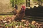 Hühnerweste